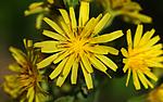 SIR_5621 / Crepis praemorsa / Enghaukeskjegg