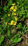 SIR_5638 / Crepis praemorsa / Enghaukeskjegg