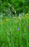 SIR_5768 / Avenula pubescens / Dunhavre