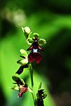 SIR_5971 / Ophrys insectifera / Flueblom