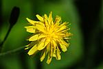 SIR_6014 / Crepis praemorsa / Enghaukeskjegg
