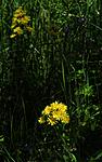 SIR_6019 / Crepis praemorsa / Enghaukeskjegg