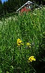 SIR_6023 / Crepis praemorsa / Enghaukeskjegg