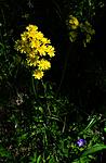 SIR_6030 / Crepis praemorsa / Enghaukeskjegg