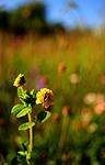 SIR_6048 / Trifolium aureum / Gullkløver