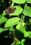 SIR_6062 / Carterocephalus palaemon / Gulflekksmyger