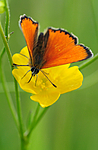 SIR_6744 / Lycaena virgaureae / Oransjegullvinge