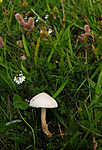 SIR_7033 / Lepiota oreadiformis / Blek parasollsopp
