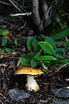 SIR_7238 / Cortinarius caesiocortinatus / Rasmarkslørsopp