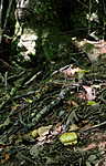 SIR_7437 / Cortinarius caesiocortinatus / Rasmarkslørsopp