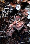 SIR_7796 / Hydnellum gracilipes / Skyggebrunpigg