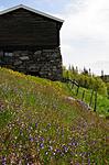 SIR_9581 / Viola tricolor / Stemorsblom