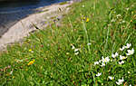 SIR_9834 / Parnassia palustris / Jåblom