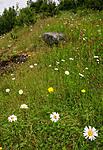 SIR_9838 / Leucanthemum vulgare / Prestekrage