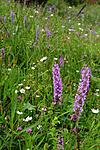 SIR_9851_2 / Gymnadenia conopsea / Brudespore