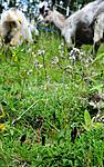 SIR_9894 / Geoglossum fallax / Skjelljordtunge