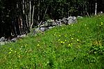 SIR_9969 / Hypochaeris maculata / Flekkgrisøre