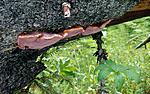 SR0137 / Fomitopsis rosea / Rosenkjuke