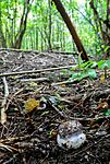 SR0_0570 / Cortinarius praestans / Kjempeslørsopp