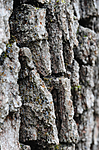 SR0_2471 / Proliferodiscus tricolor / Eikehårskål