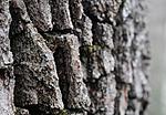 SR0_2475 / Proliferodiscus tricolor / Eikehårskål
