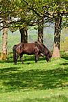 SR0_2726 / Equus caballus / Hest
