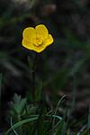 SR0_2896 / Ranunculus bulbosus / Knollsoleie