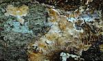 SR0_3247 / Gloeoporus pannocinctus / Finkjuke