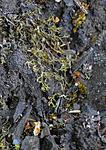 SR0_3436 / Phaeophyscia constipata / Kalkrosettlav