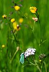 SR0_3767 / Achillea millefolium / Ryllik <br /> Adscita statices / Grønn metallsvermer