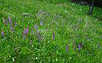 SR0_7551 / Gymnadenia conopsea / Brudespore
