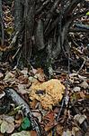 SR0_8715 / Ramaria flavescens / Stor korallsopp
