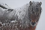 SR0_8936 / Equus caballus / Hest