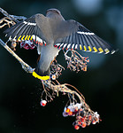 _DSC9070 / Bombycilla garrulus / Sidensvans <br /> Sorbus aucuparia / Rogn