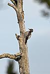 _SRE2359 / Picoides tridactylus / Tretåspett