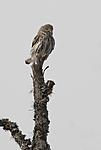 _SRE2477 / Glaucidium passerinum / Spurveugle