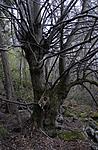 _SRE2595 / Tilia cordata / Lind
