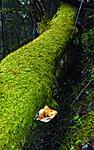_SRE3021 / Haploporus odorus / Nordlig aniskjuke <br /> Salix caprea / Selje