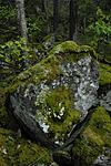 _SRE3040 / Cetrelia olivetorum / Praktlav