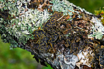 _SRE3122 / Pseudocyphellaria crocata / Gullprikklav