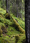 _SRE3160 / Picea abies / Gran