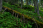 _SRE3164 / Picea abies / Gran