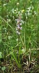 _SRE3504 / Gymnadenia conopsea / Brudespore