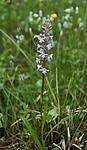 _SRE3505 / Gymnadenia conopsea / Brudespore