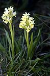 _SRE6846 / Dactylorhiza sambucina / Søstermarihand