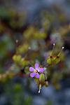 _SRE7135 / Geranium lucidum / Blankstorkenebb