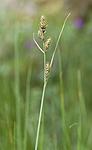 _SRE7664 / Carex hartmanii / Hartmansstarr