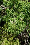 _SRE7709 / Syringa vulgaris / Syrin