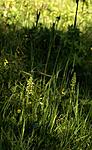_SRE8008 / Pseudorchis albida / Hvitkurle <br /> Pseudorchis albida