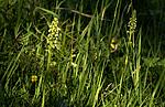_SRE8008_2 / Pseudorchis albida / Hvitkurle <br /> Pseudorchis albida
